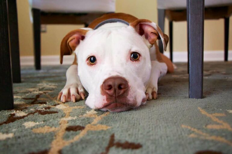 get dog smell out of carpet